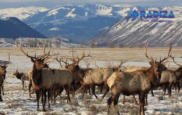 Dron provoca estampida de alces en Wyoming
